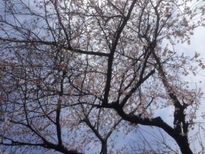 140329桜01
