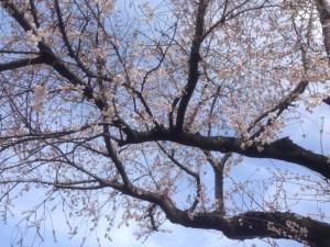 140329桜02