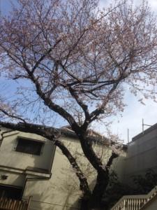 140329桜03
